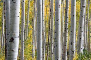 birch-wood-sugar