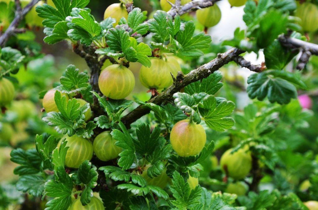 gooseberries on a bush